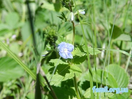 Синий (фиолетовый) цветок