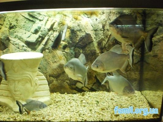 Рыбки из семейства пираньевых
