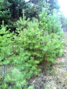 Маленькие елки