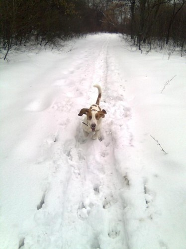 Бассет бегущий по снегу