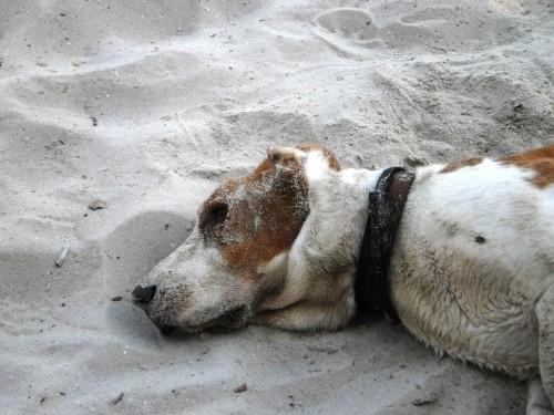 Бассет-хаунд в песке