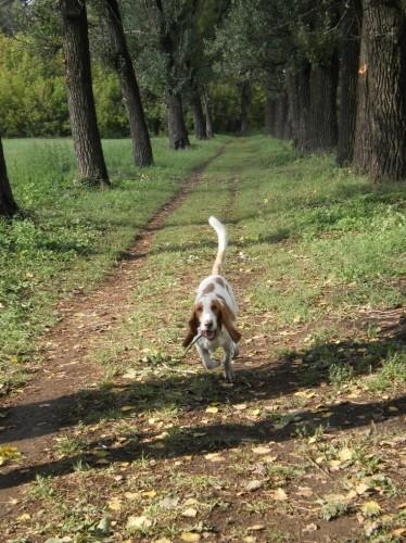 Бассет-хаунд бежит по тополиной аллее