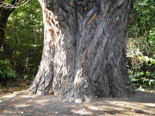 Дерево-великан