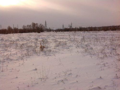 Бассет-хаунд на снежном поле