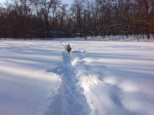 Бассет хаунд бежит по снегу