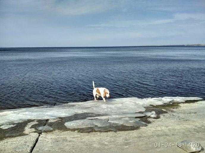 Бассет-хаунд Диксон купается в реке Днепр
