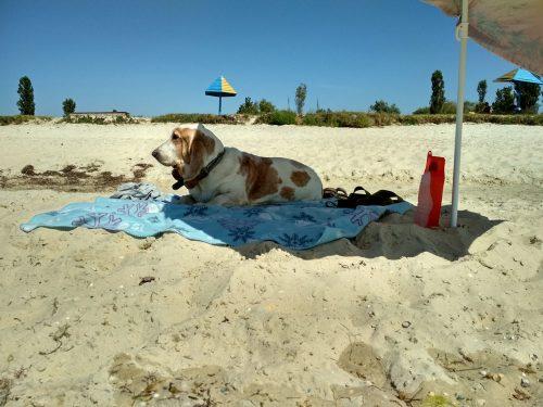 Бассет-хаунд под пляжным зонтом