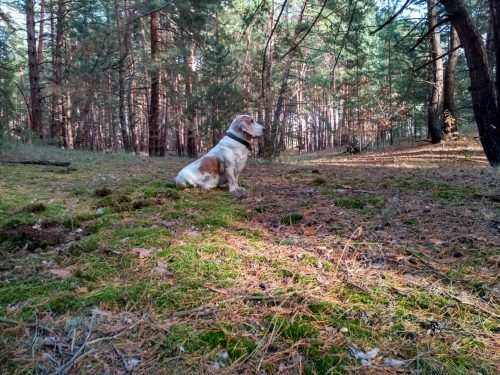 Бассет-хаунд Диксон в сосновом лесу