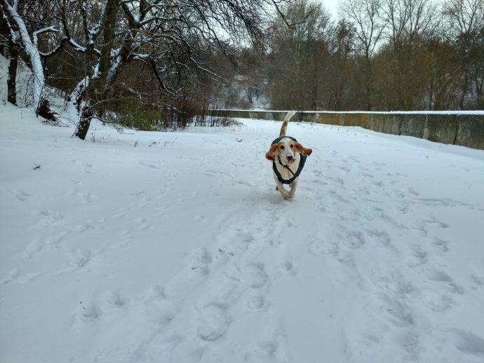 Бассет-хаунд Диксон в одежде бежит по снегу