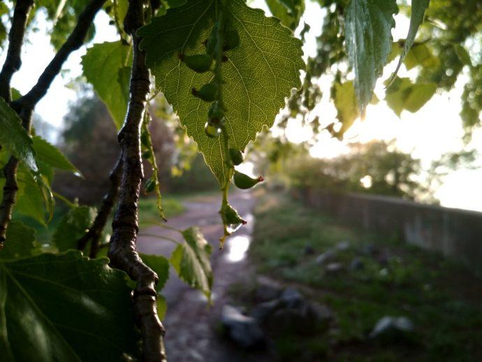 Листья тополя в каплях дождя