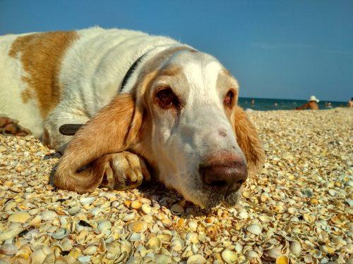 Бассет на море