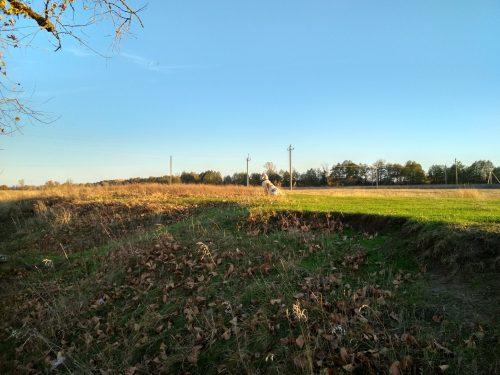 Бассет-хаунд Диксон в поле