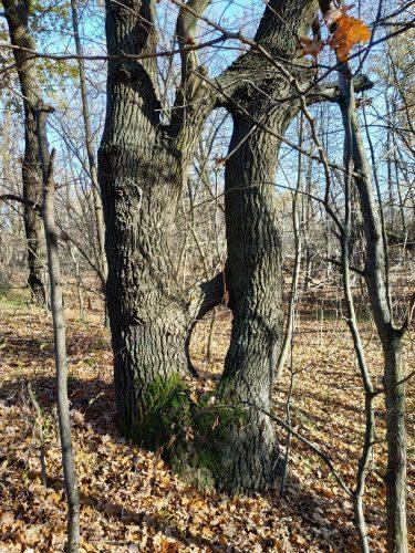 Сросшееся дерево