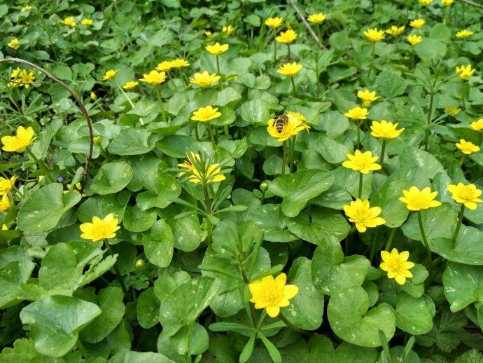 Поляна цветов калужница болотная